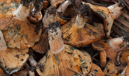 Season start to mushroom Garrotxa